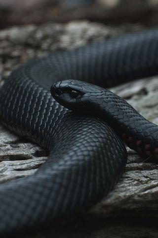Обои на телефон черные, животные, змея