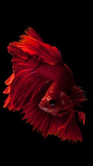 Обои на телефон рыба, питомцы, океан, море, красые, животные, вода, айфон, ios, hd, betta, 6s