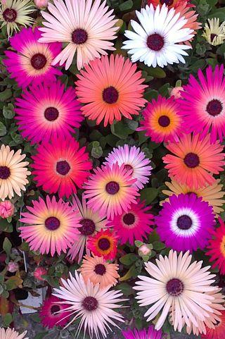 Обои на телефон яркие, цветы, розовые, растения, лед, ice plant
