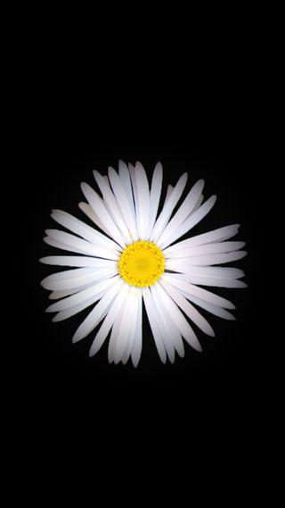 Обои на телефон маргаритка, черные, цветы, природа, белые