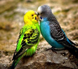 Обои на телефон птицы, дикие, природа, новый, крутые, красочные, животные, естественные, colorful budgies, budgies