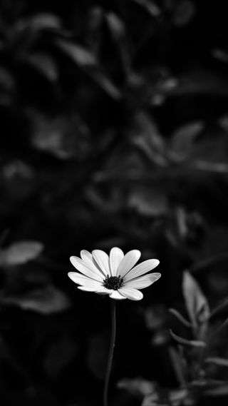 Обои на телефон размытые, цветы, osteospermum