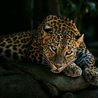 Обои на телефон леопард, животные, дикие