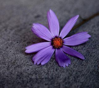Обои на телефон лепестки, цветы, фиолетовые, приятные, природа, прекрасные, новый, дизайн, hd