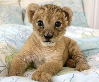 Обои на телефон малыш, лев