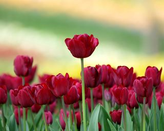 Обои на телефон сад, цветы, тюльпаны, розы, природа