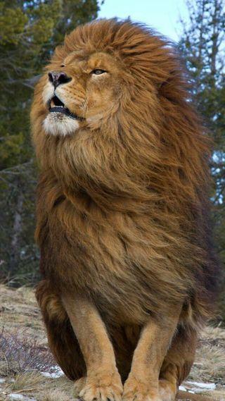 Обои на телефон дикие, лев, король, животные