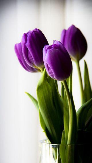 Обои на телефон белые, зеленые, фиолетовые, цветы, тюльпаны