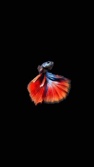 Обои на телефон черные, рыба, красые, боец, fighter fish 2, figher