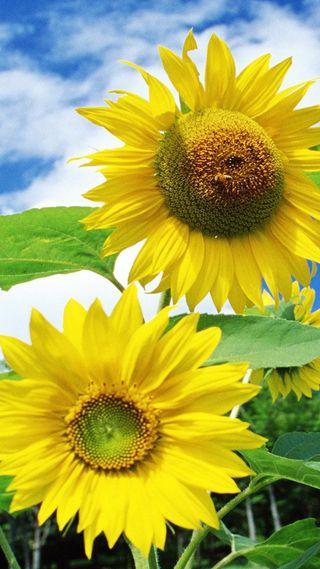 Обои на телефон растения, цветы, солнце, природа, sun flowers, hd