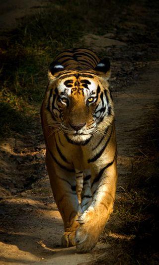 Обои на телефон прайд, тигр, отношение, милые, крутые, кошки, король, животные, tiger pride, hd, 4k, 2014, 1080p