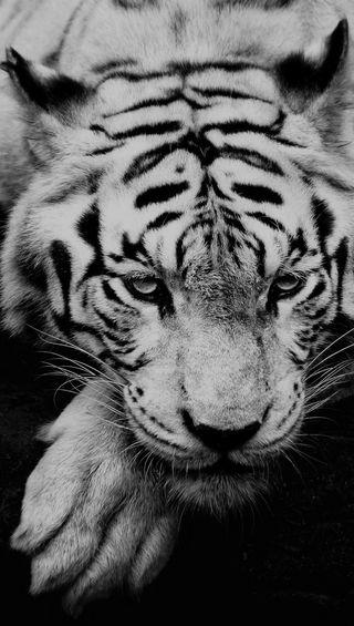 Обои на телефон тигр, темные