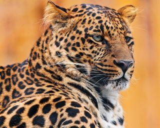 Обои на телефон леопард, тигр, животные, leopards