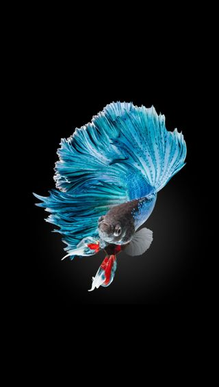Обои на телефон черные, синие, серые, рыба, боец, белые, fighter fish 7
