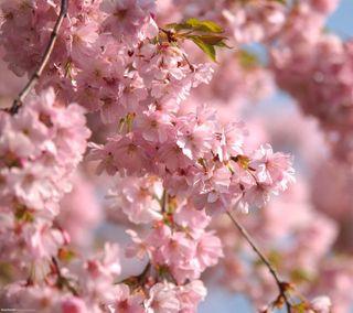 Обои на телефон цвести, удивительные, розовые, расцветает, природа, прекрасные, новый, лучшие, крутые, pink blossom, 2012