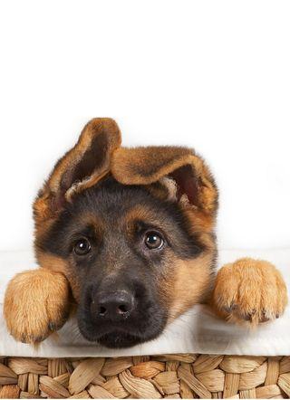 Обои на телефон немецкие, щенки, собаки, милые, shepherd