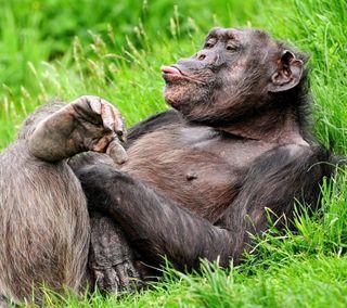 Обои на телефон юмор, трава, дикие, природа, обезьяны, зеленые, забавные, животные, веселые