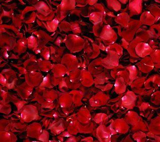 Обои на телефон лепестки, розы, красые, rose petals