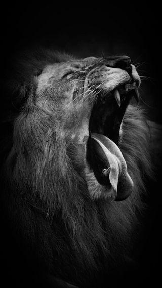 Обои на телефон черные, лев, белые, lion cry