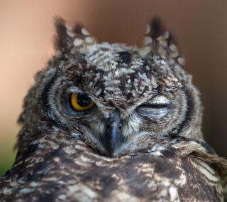 Обои на телефон хищник, сова, птицы, природа, лицо, wink, hd, beak, 4k