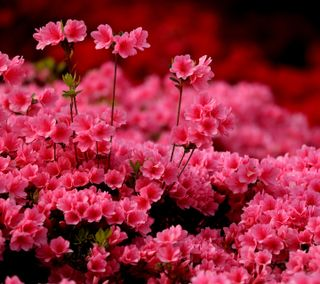 Обои на телефон розовые, azalea
