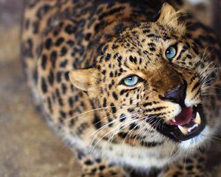 Обои на телефон леопард, тигр, синие, дикий, глаза