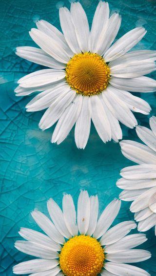 Обои на телефон ромашки, маргаритка, весна, цветы