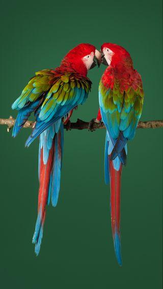 Обои на телефон попугаи, красочные, zte axon 7