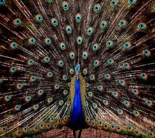 Обои на телефон павлин, перо, peocock feather, hd peacock