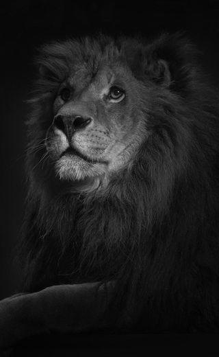 Обои на телефон черные, устал, лицо, лев, король, land, hd