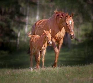 Обои на телефон лошади, два