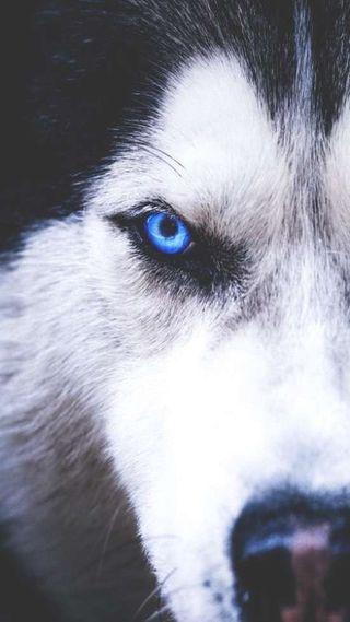 Обои на телефон хаски, собаки, волк