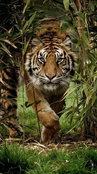 Обои на телефон тигр, лицо, злые, животные