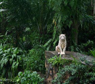 Обои на телефон джунгли, тигр, белые, hd