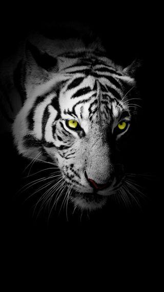 Обои на телефон черные, тигр, лицо, животные, дикие, белые