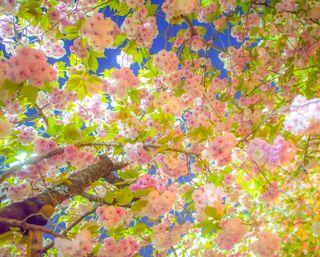 Обои на телефон вишня, цветы, цветение, цвести, деревья