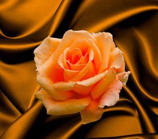 Обои на телефон оранжевые, розы