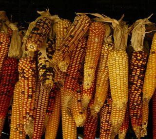 Обои на телефон еда, осень, zedgeyellow, fall corn
