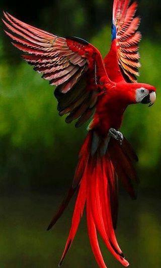 Обои на телефон попугай, крутые, красые, классные, red parrot