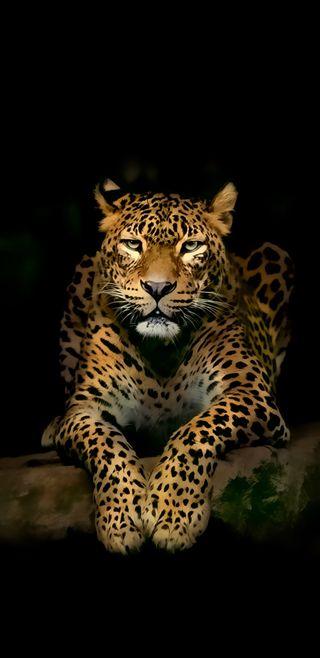 Обои на телефон хищник, леопард, животные
