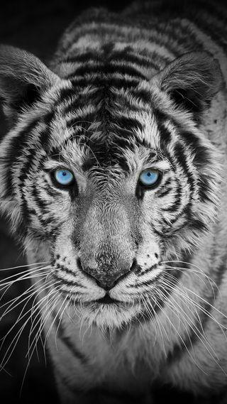 Обои на телефон тигр, милые, hd