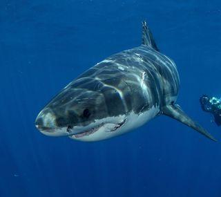 Обои на телефон акула, рыба