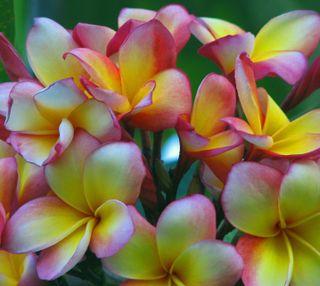 Обои на телефон цветы, природа, новый, лучшие, крутые, естественные, sgs3, s3, frangipani