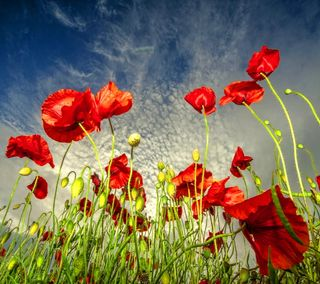 Обои на телефон поле, синие, небо, маки, field poppies, field of poppies