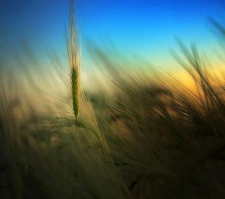 Обои на телефон растения, пшеница, природа