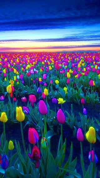 Обои на телефон тюльпаны, поле, закат
