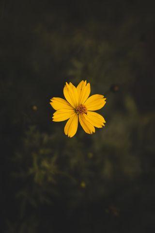Обои на телефон маргаритка, цветы, cicek