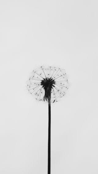 Обои на телефон hd, dandy dandelion, природа, белые, цветы, свет, простые, чистые, одуванчик