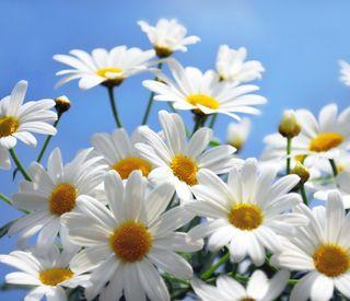 Обои на телефон ромашки, маргаритка, цветы, природа