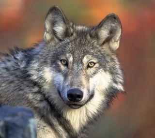 Обои на телефон хищник, зоопарк, животные, дикая природа, волк, wolf posing